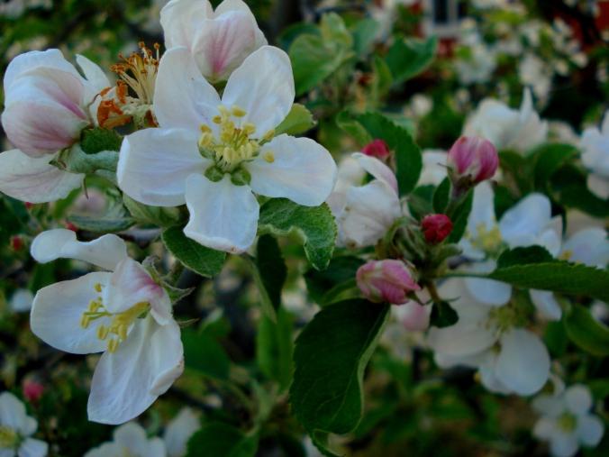 blossom 2.JPG