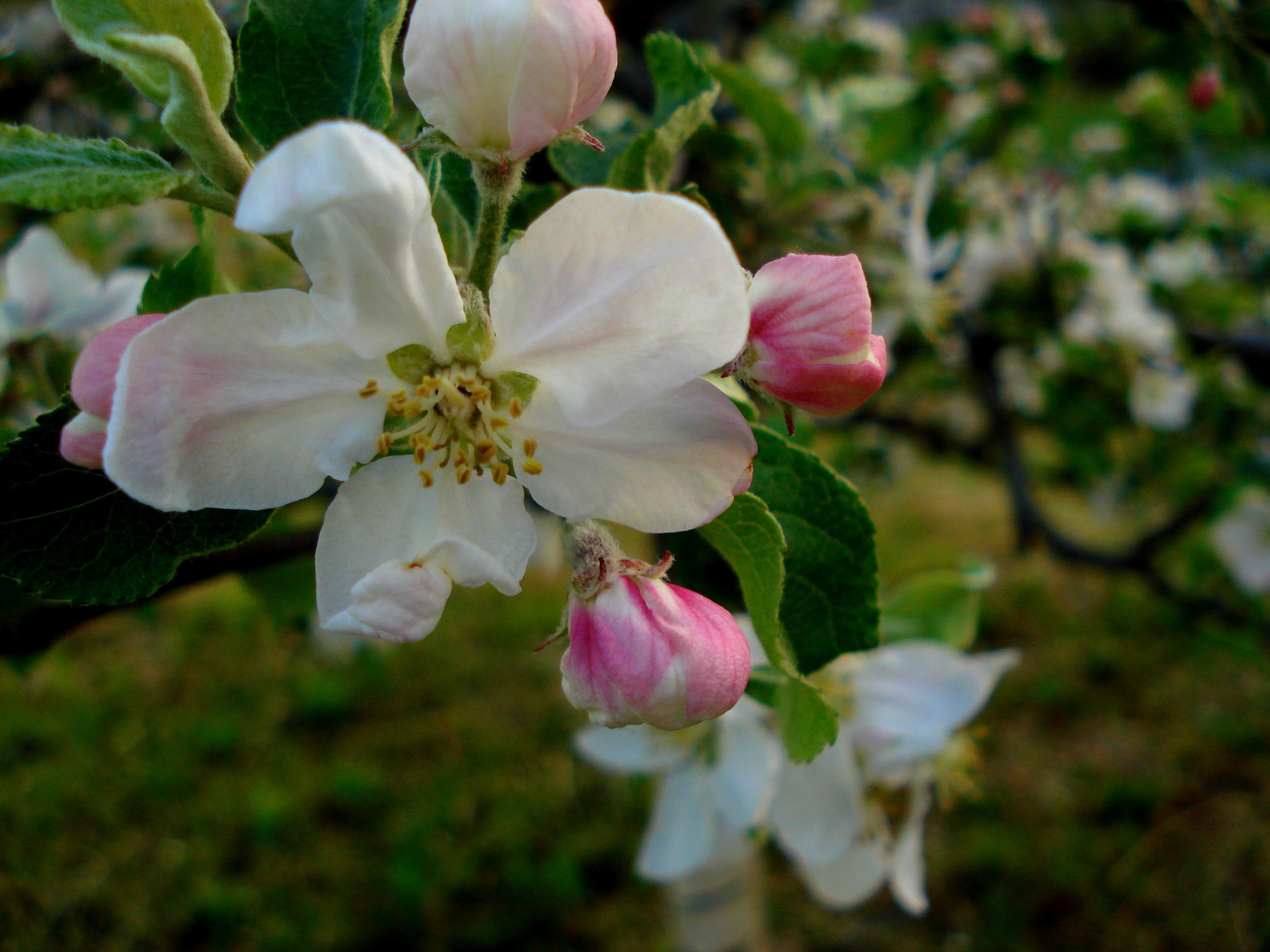 blossom 3.JPG