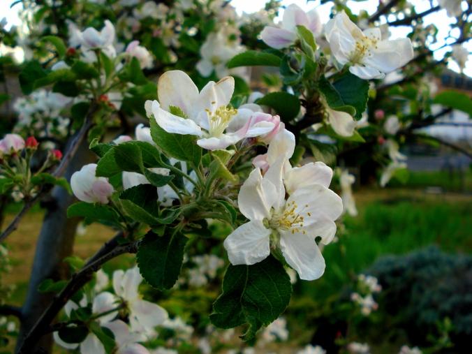 blossom 4.JPG
