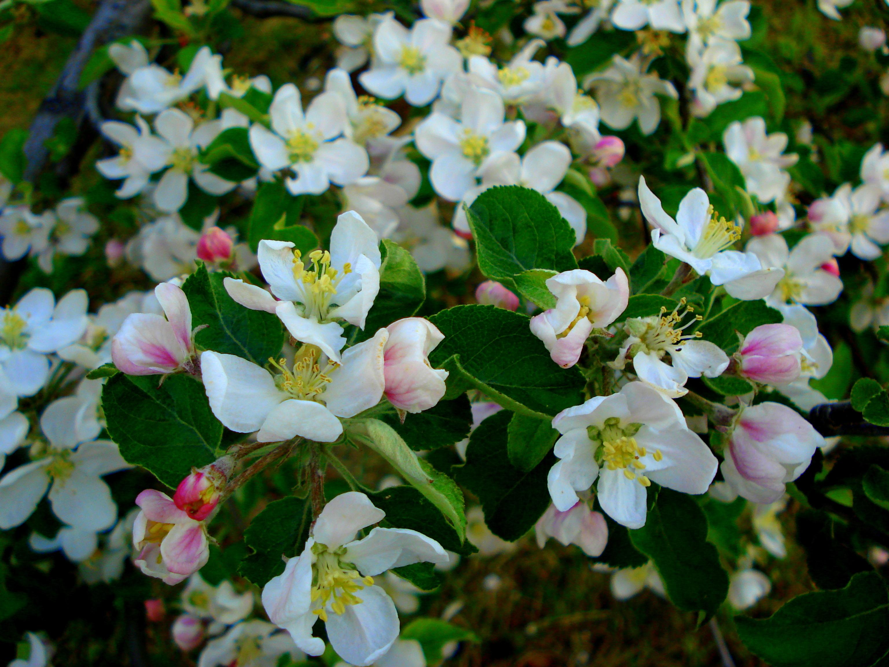 blossom 5.JPG
