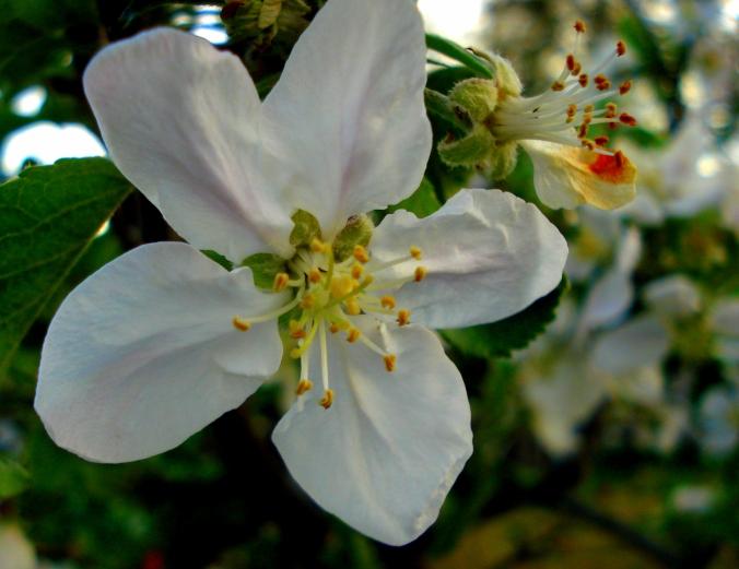 blossom 6.JPG